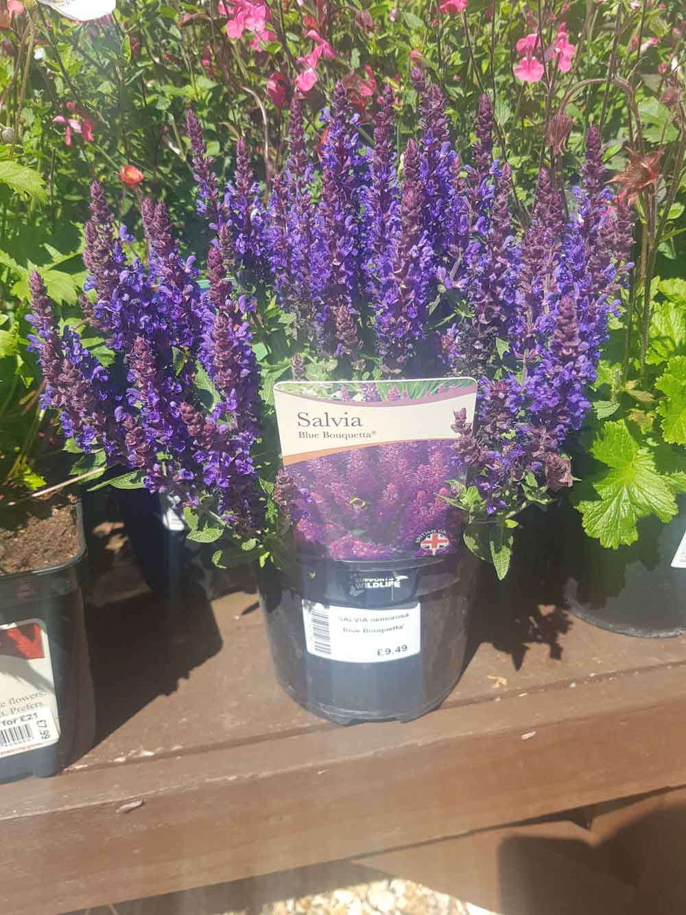 Plant Spotlight: Salvia Pink Lips